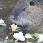 nutria beim essen im tierpark merseburg