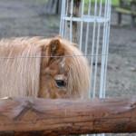 kleines pony im wildtierpark merseburg