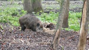 wildschweine im südpark merseburg