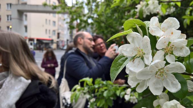 kischbaum im stadtgarten köln