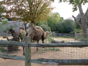 dromedar im london zoo